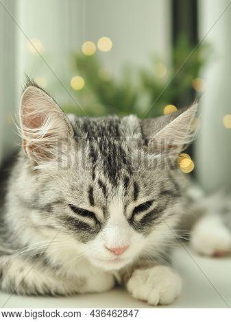 Christmas Cat. Close-up Portrait Beautiful Gray Fluffy Domestic Sleeping Cat On Christmas Lights Bac