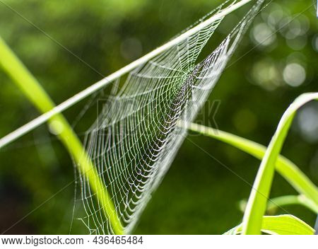 Cobwebs In The Summer, Phenomenon Of Spiders Migration, Cobwebs Late Summer At Sunrise, In The Garde