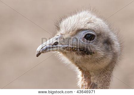Darwin's Rhea (rhea Pennata)