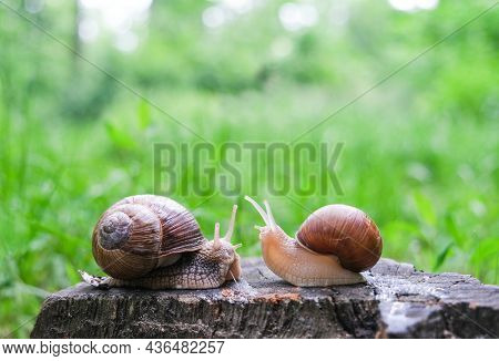 Two Snails Sit On A Stump, Looking At Each Other, Against The Background Of The Forest, In The Summe