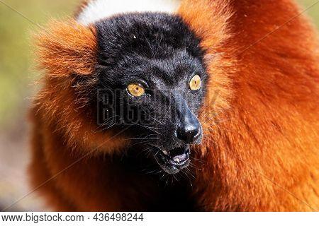 Red Ruffed Lemur Monkey. Mammal And Mammals. Land World And Fauna. Wildlife And Zoology. Nature And