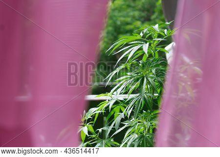 Secret View Of Cannabis Or Marihuana Plants On Balcony. Outdoors Growing Marijuana Plants.