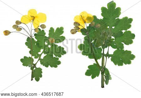 Pressed And Dried Yellow Flowers Celandine, Isolated On White Background. For Use In Scrapbooking, P