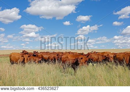 Herd of free-range cattle grazing in grassland on a rural farm, South Africa