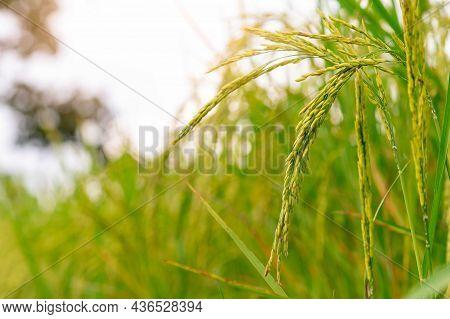 Selective Focus On Ear Of Rice. Green Paddy Field. Rice Plantation. Organic Jasmine Rice Farm In Asi