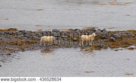 Sheeps At The Atlantic Ocean Beach, Iceland