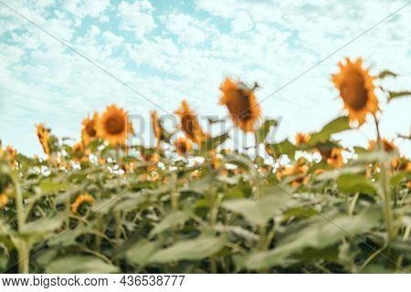 Beautiful Field Of Blooming Sunflowers Against Sunset Golden Light And Landscape Background