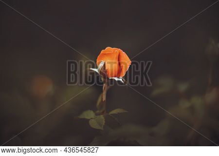 A Lonely Red Rose Bud Blooms On A Stem With Dark Leaves In The Evening Twilight. Beautiful Nature.