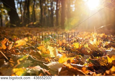 Yellow, Orange Autumn Leaves In A Beautiful Autumn Park On A Sunny Day