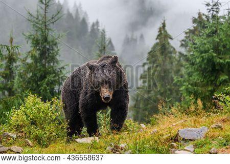 Wild Brown Bear (ursus Arctos) In The Autumn Forest. Animal In Natural Habitat. Wildlife Scene