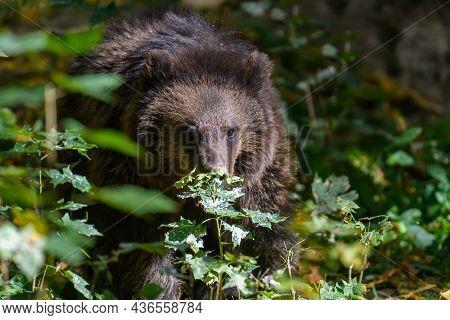 Baby Cub Wild Brown Bear (ursus Arctos) In The Autumn Forest. Animal In Natural Habitat