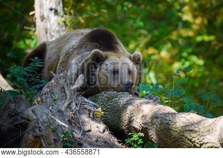 Wild Brown Bear (ursus Arctos) Sleep In The Autumn Forest. Animal In Natural Habitat. Wildlife Scene