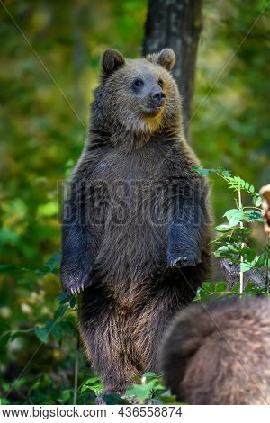 Baby Cub Wild Brown Bear (ursus Arctos) Stand On Tree In The Autumn Forest. Animal In Natural Habita