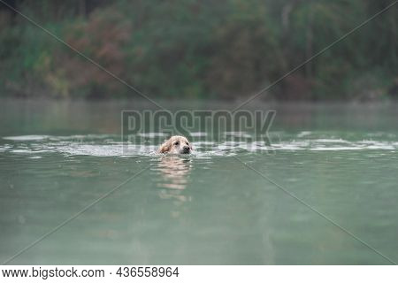 Golden Retriever Is Bathing In A Lake At Foggy Weather