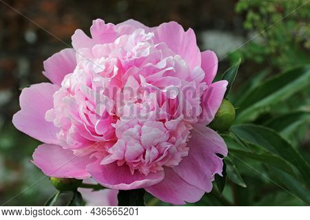 Pink Double Peony, Paeonia Unknown Species, Flower In Close Up With A Blurred Background Of Leaves A