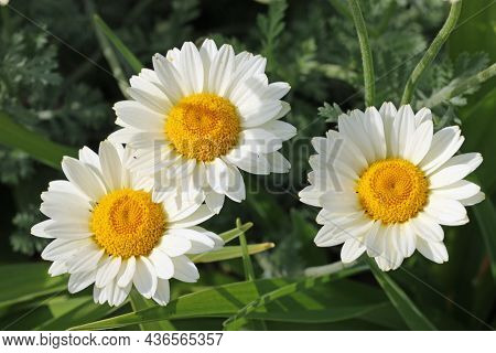 Three White Daisy Flowers With Yellow Centre Of Unknown Species In Close Up With A Blurred Backgroun