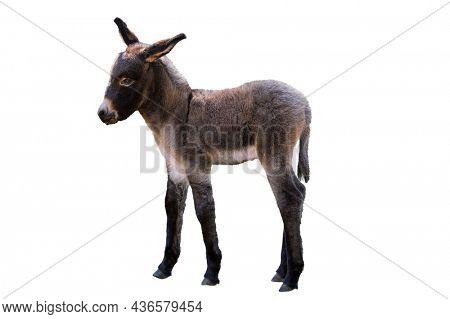Baby donkey isolated on white background