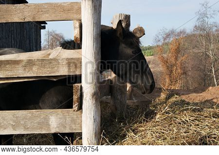 Young Black Horse In A Wooden Home Paddock. Mares Head Looks Ahead