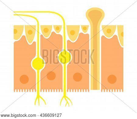 Olfactory Epithelium Anatomical Poster. Human Nasal Cavity Concept. Sensory Neurons, Cilia And Basal
