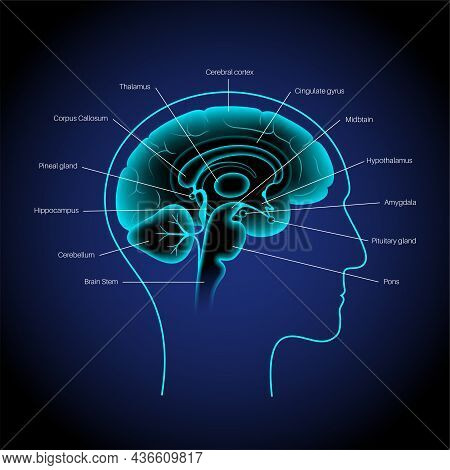 Human Brain Anatomy On A Blue Background. Limbic System And Neural Network Concept. Digital Science