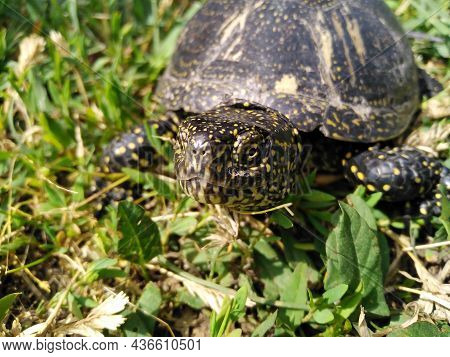 The European Pond Turtle - Emys Orbicularis, Allso Called Commonly The European Pond Terrapin And Eu