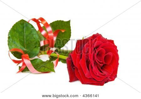 Celebrating Love - Single Red Rose Isolated Over White