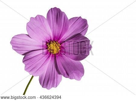 Pink Cosmos Flower (cosmos Bipinnatus) Isolated On A White Background