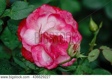 Red And White Bicolored Rose Flowers With Raindrops Close-up On A Green Blurred Background. Red And