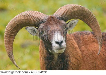 European Mouflon Male Portrait - (ovis Aries Musimon)