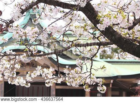 Blooming sakura trees with white flowers. Japanese hanami festival when people enjoy sakura blossom. Cherry blossoming season in Japan