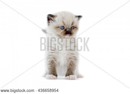Adorable ragdoll kitten isolated on white background with copyspace. Fluffy purebred kitty cat standing