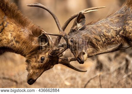 Two Fully Adult Angry Male Sambar Deer In Action Fighting With Their Big Long Large Antlers Showing