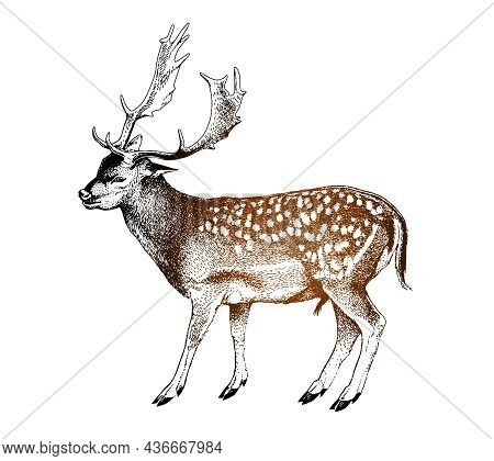 Spotted Deer With Horns. Cervus Nippon. Dappled Sika Deer. Hand Drawn Realistic Sketch, Graphics Col