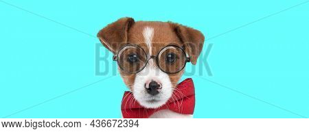 landscape of a sweet jack russell terrier dog wearing a red bowtie and glasses against blue background