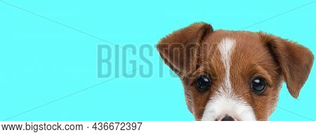 landscape of a beautiful jack russell terrier dog hiding his face from the camera on blue background