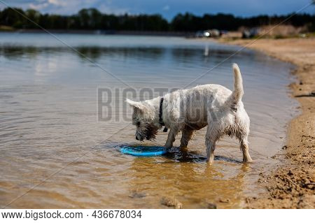 Small White Dog Grabbing Flying Disc From The Water On A Beach   West Highland White Terrier Playing