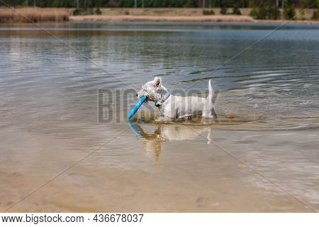 Small White Dog Walking In Water Holding Flying Disc In Mouth Profile Side View   West Highland Whit