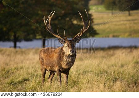 A Red Deer Stag With Large Antlers Standing In Grass With Water Behind