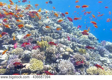 Colorful Coral Reef At The Bottom Of Tropical Sea, Hard Corals And Fishes Anthias, Underwater Landsc