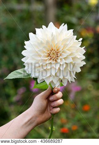 Dahlia Cafe Au Lait Flower In Womans Hand In Summer Cottage Garden Background