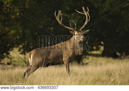 A Red Deer Stag With Large Antlers Standing Proudly