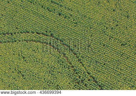 Yellow Sunflower Flowers With Green Leaves - The Texture Of The Sunflower Field. Aerial Drone Shot.