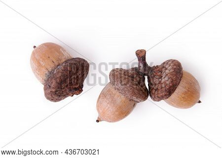 Ripe Oak Fruits. Three Acorns In Caps On A White Background. Twig With Acorns