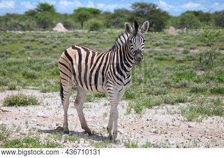 Plains Zebra (equus Quagga) In A Green Savannah Of The Etosha National Park In Namibia