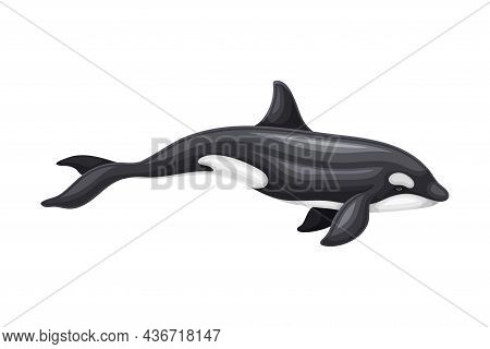 Killer Whale Or Orca As Aquatic Placental Marine Mammal With Flippers And Large Tail Fin Closeup Vec