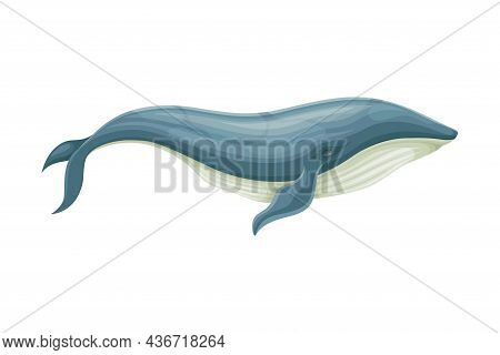 Blue Whale As Aquatic Placental Marine Mammal With Flippers And Large Tail Fin Closeup Vector Illust