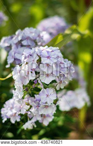 phlox flowers in full bloom  in garden