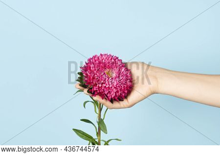Hand Holding Aster Flower Isolated On Blue Background. Autumn Flowers. Asters Symbolize Love, Wisdom