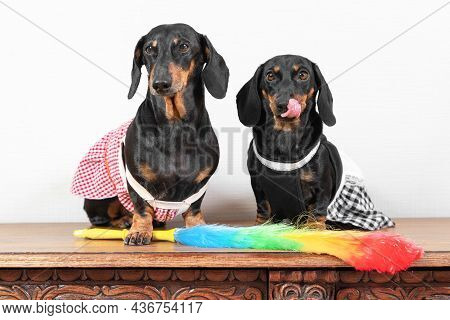 Two Funny Dachshund Dogs In Maid Uniform With Aprons Sit On Wooden Surface, Feather Duster For Clean