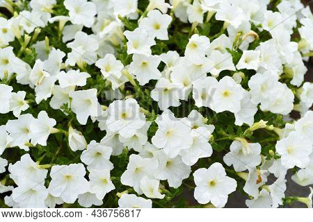 Classic White Petunia Flowers Growing In Russian Far East